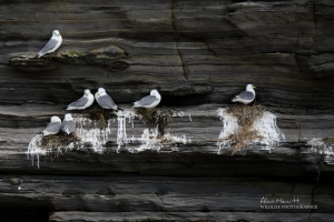 Northumberland Kittiwakes Nesting Alan Hewitt Photography