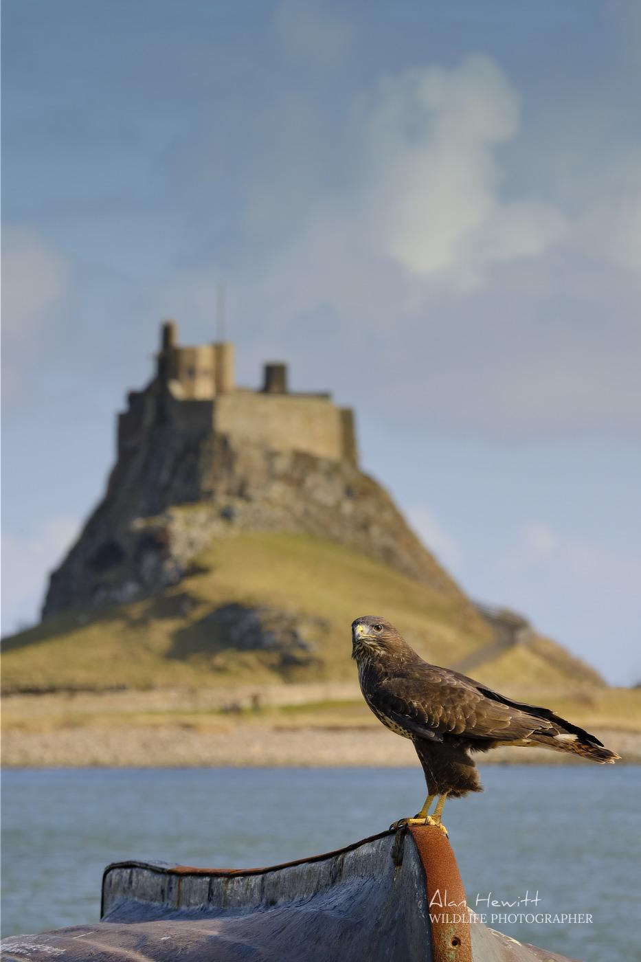 Common Buzzard Holy Island Northumberland Birds of Prey Photography Workshop Alan Hewitt