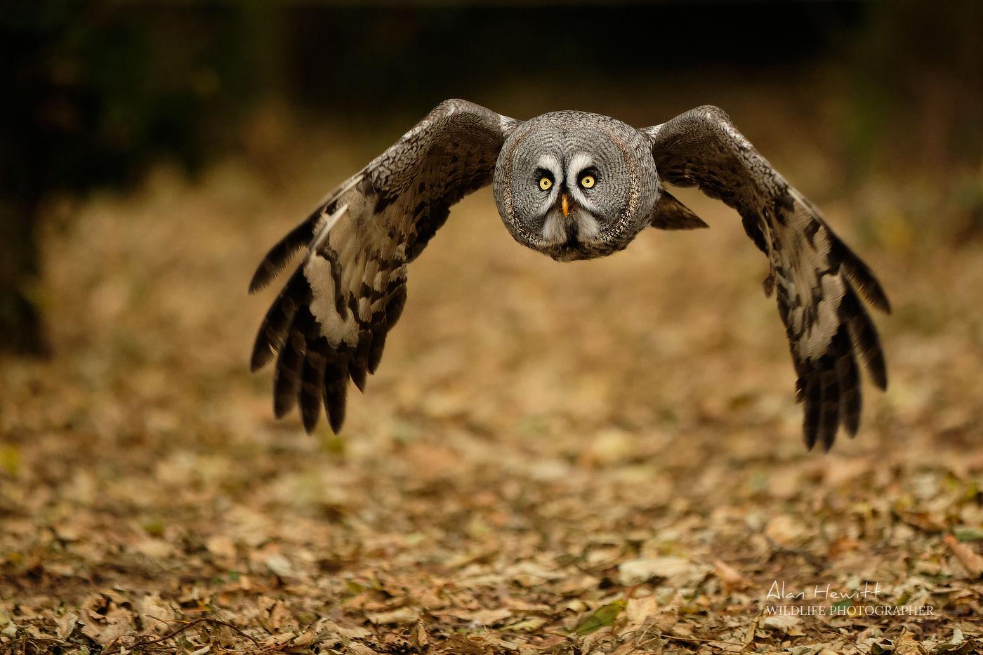 Great Grey Owl Northumberland Birds of Prey Photography Workshop Alan Hewitt