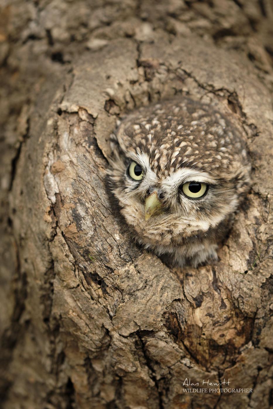 Little Owl Northumberland Birds of Prey Photography Workshop Alan Hewitt