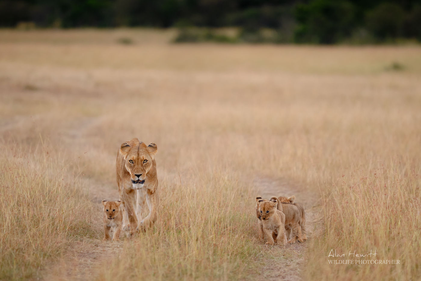 Lioness and cubs returning to the pride Alan Hewitt Photography