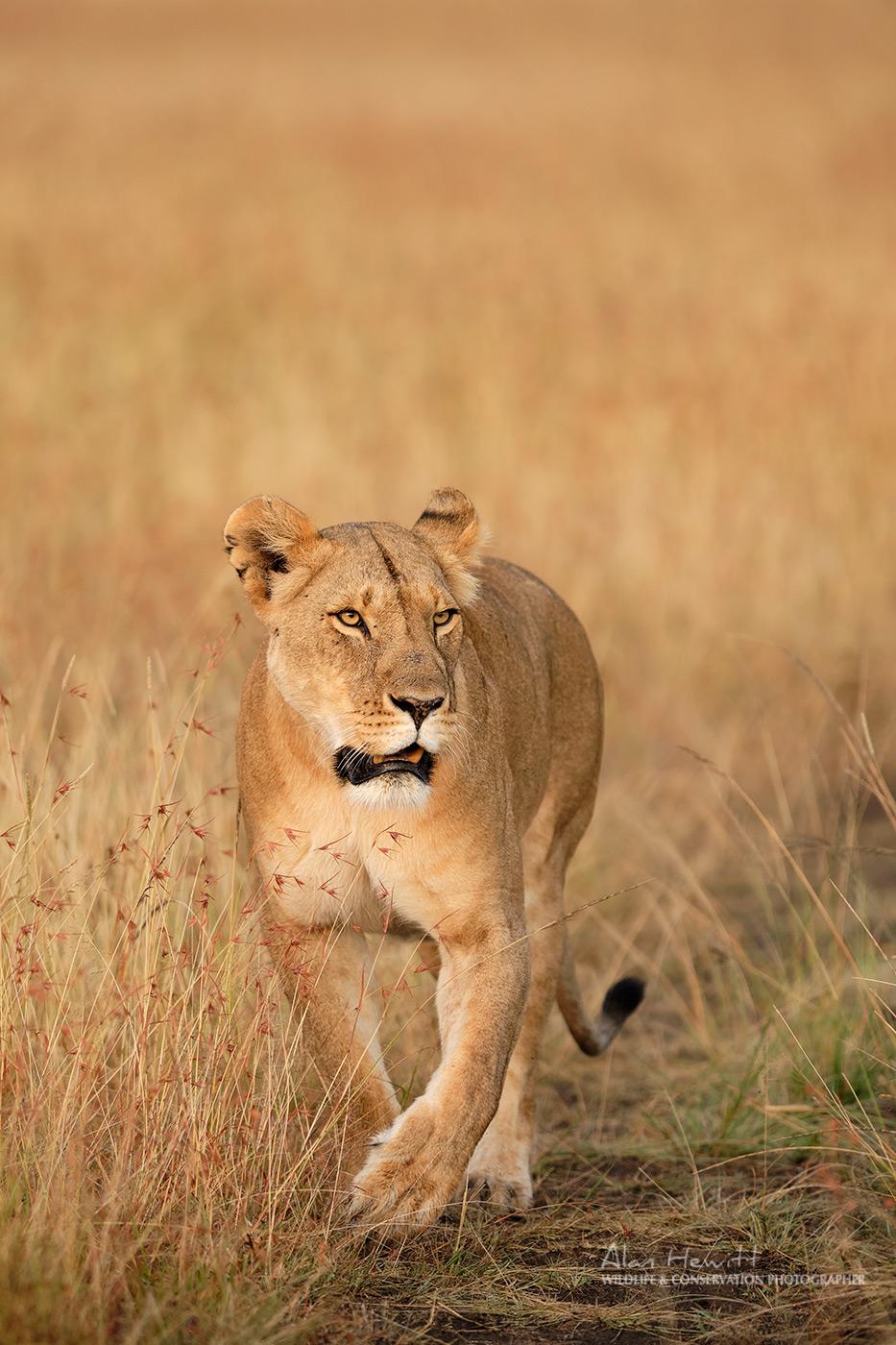 Lioness, Lemek Conservancy Maasai Mara. Alan Hewitt Photography