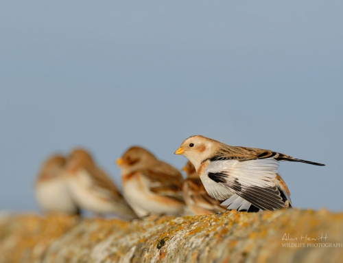 Featured Photograph – Snow Bunting
