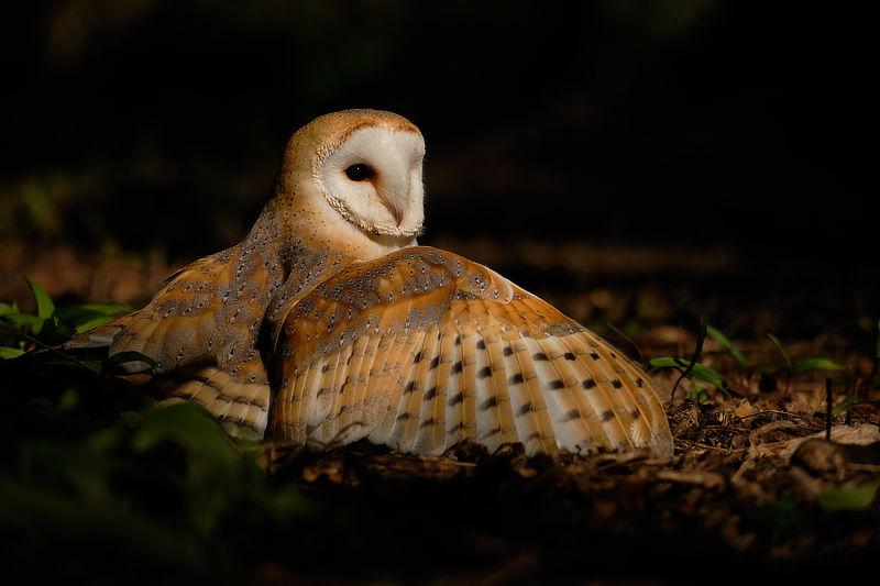 Barn Owl, © Alan Hewitt Photography