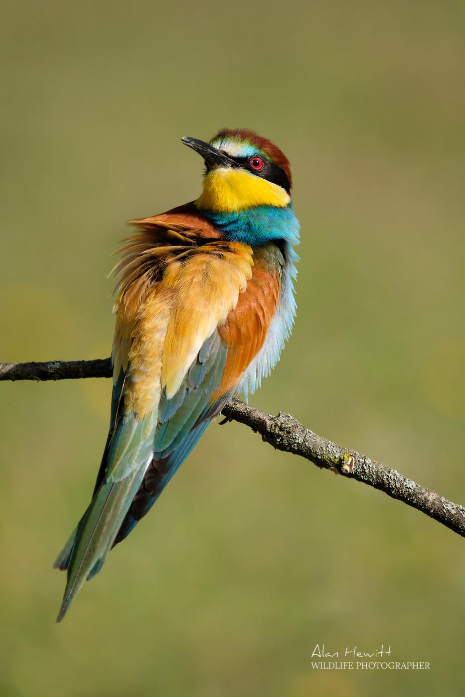 European bee-eater, © Alan Hewitt Photography