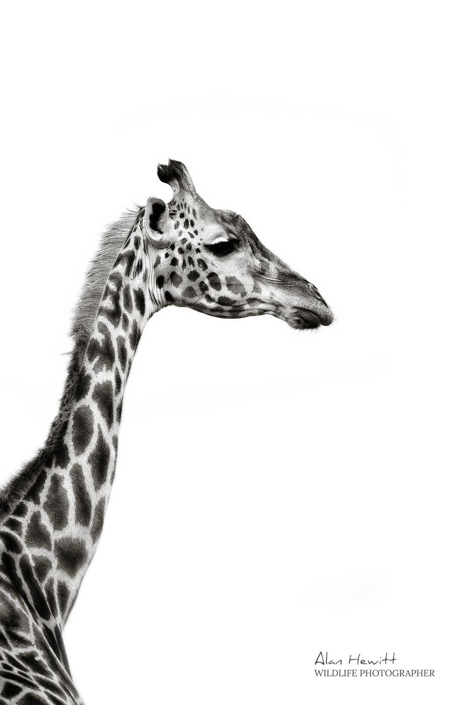 Maasai Giraffe, © Alan Hewitt Photography