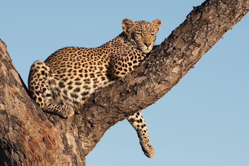 Female Leopard, © Alan Hewitt Photography
