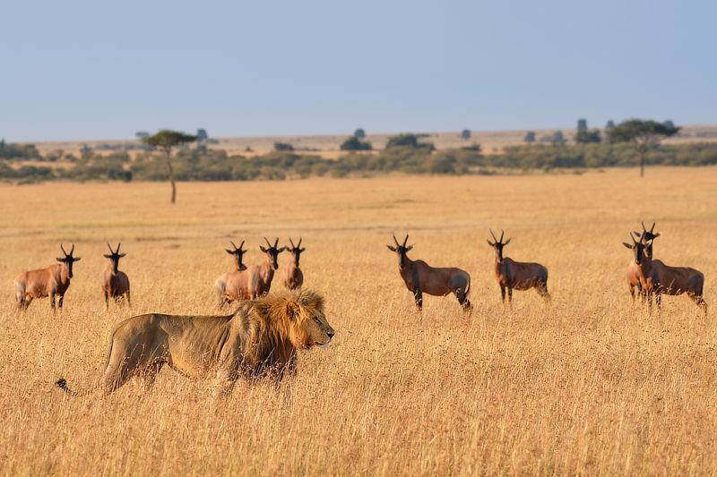 Male Lion Lemek Conservancy Maasai Mara, © Alan Hewitt Photography