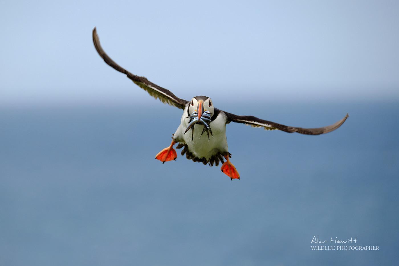 Atlantic Puffin, © Alan Hewitt Photography