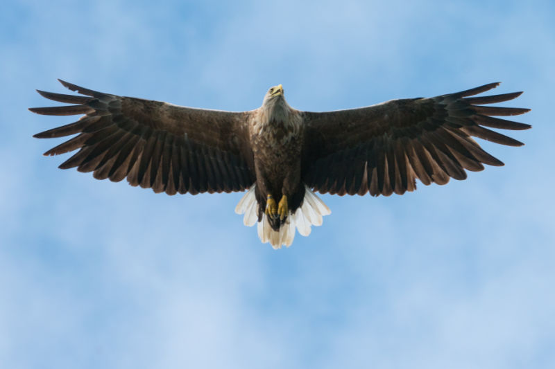 White Tailed Sea Eagle, © Alan Hewitt Photography