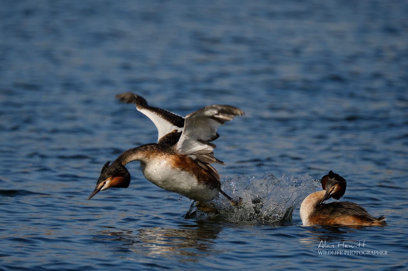 Great Crested Grebe Alan Hewitt Photography