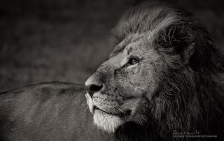 Male Lion Alan Hewitt Photography