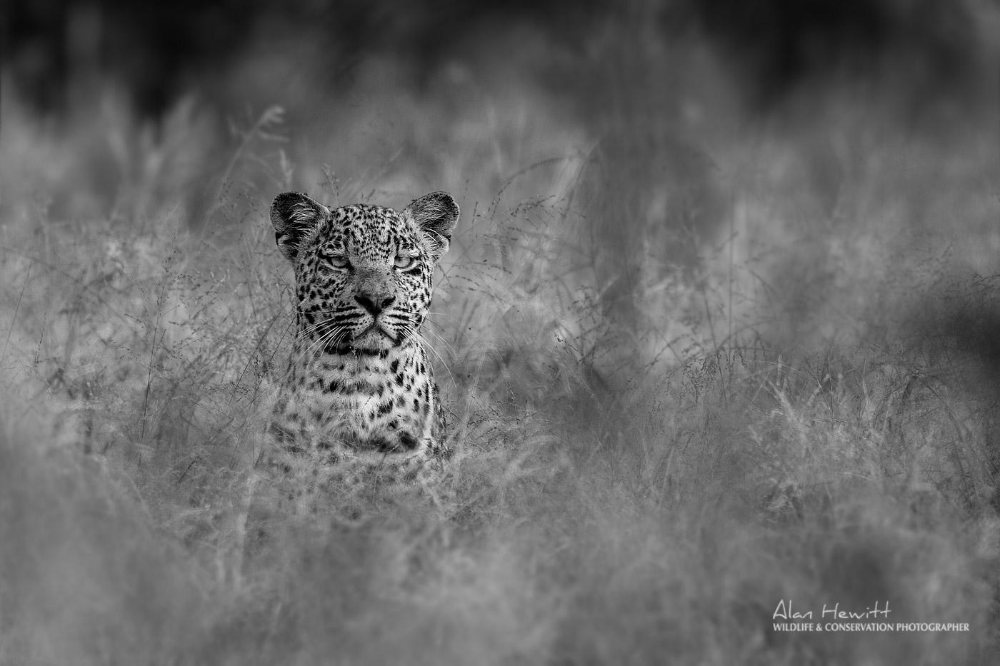 Young male Leopard 'Hosanna' - Alan Hewitt Photography