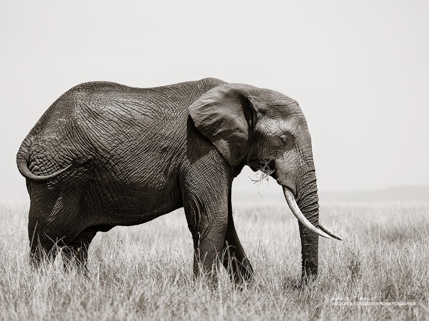 Bull Elephant – Fujifilm Medium Format GFX50s & GF250mm Alan Hewitt Photography