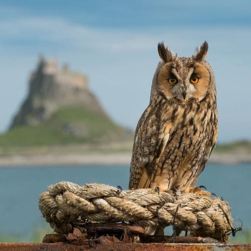 Eagle Owl Holy Island Alan Hewitt Photography