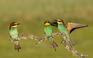 European Bee-eaters Alan Hewitt Photography