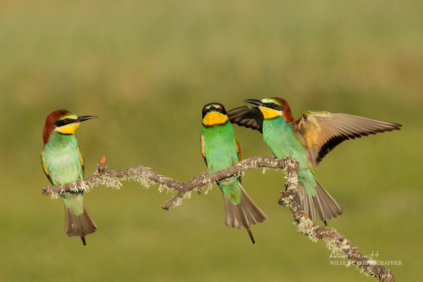 European Bee-eaters Alan Hewitt Photography