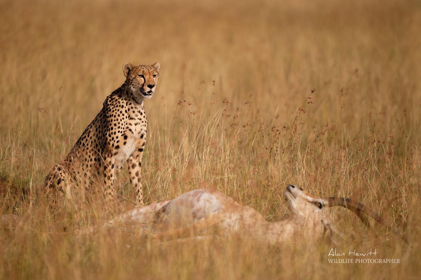 Female Cheetah, 'Kisaru' & Grant's Gazelle prey. Photographed with the Fujifilm X-H1 & Fujinon 200mm.