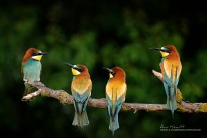 European Bee-eaters Fujifilm 100-400mm
