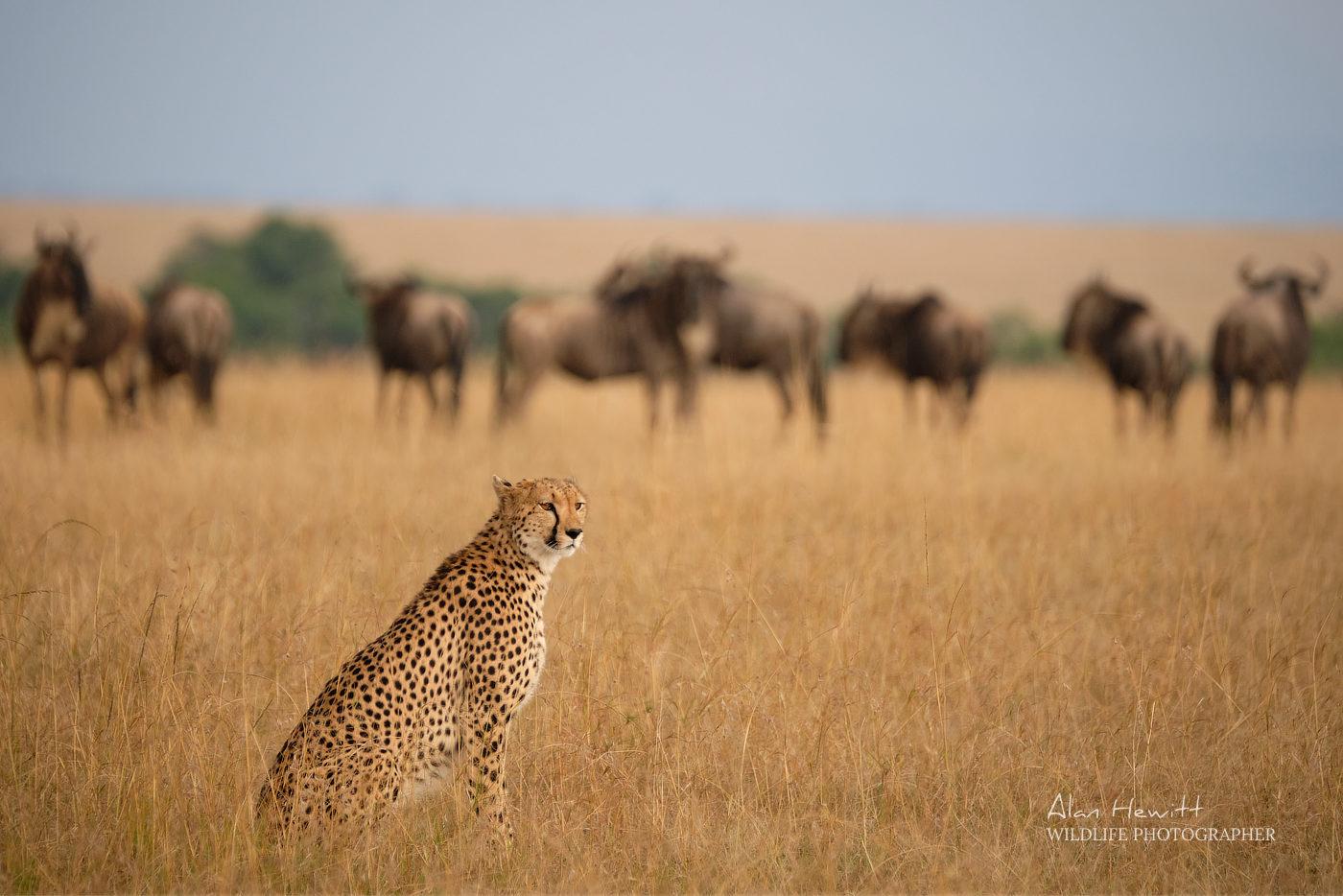 Cheetah and Wildesbeest Alan Hewitt Photography