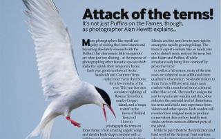 Bird Watching Magazine - Arctic Terns Alan Hewitt Photography