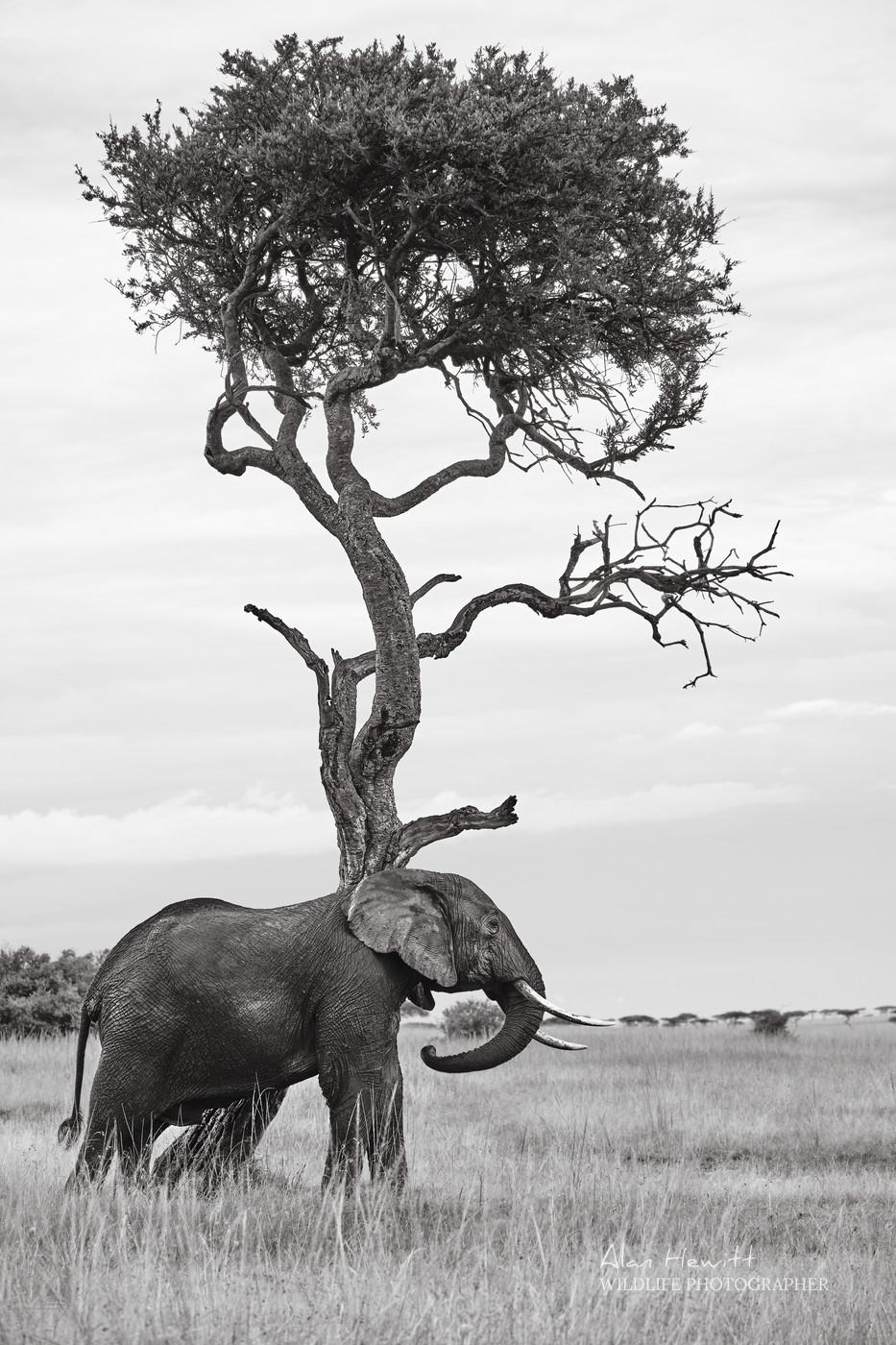 Elephant Masai Mara Alan Hewitt Photography