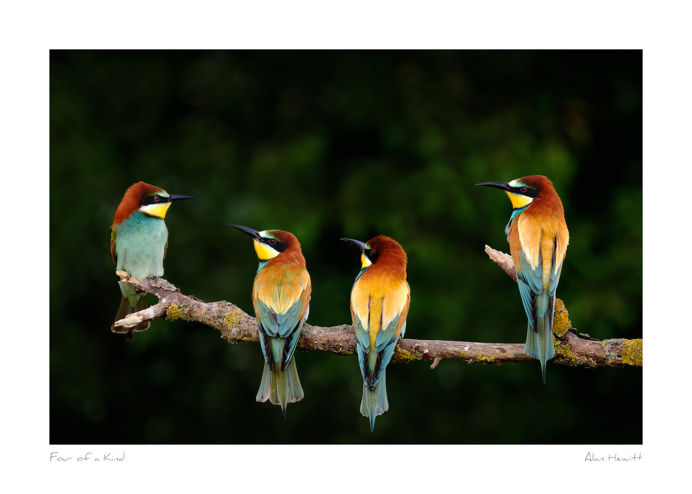 Wildlife Print Four of a Kind European Bee-eaters Alan Hewitt Photography
