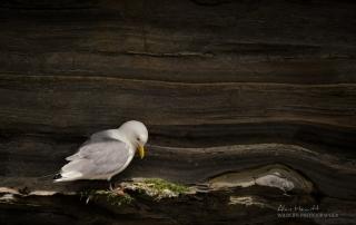 Northumberland Kittiwake Nesting Alan Hewitt Photography
