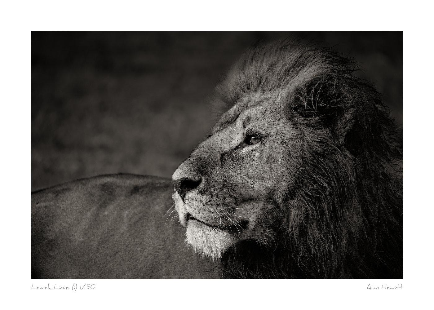 Wildlife Print Male Lion Alan Hewitt