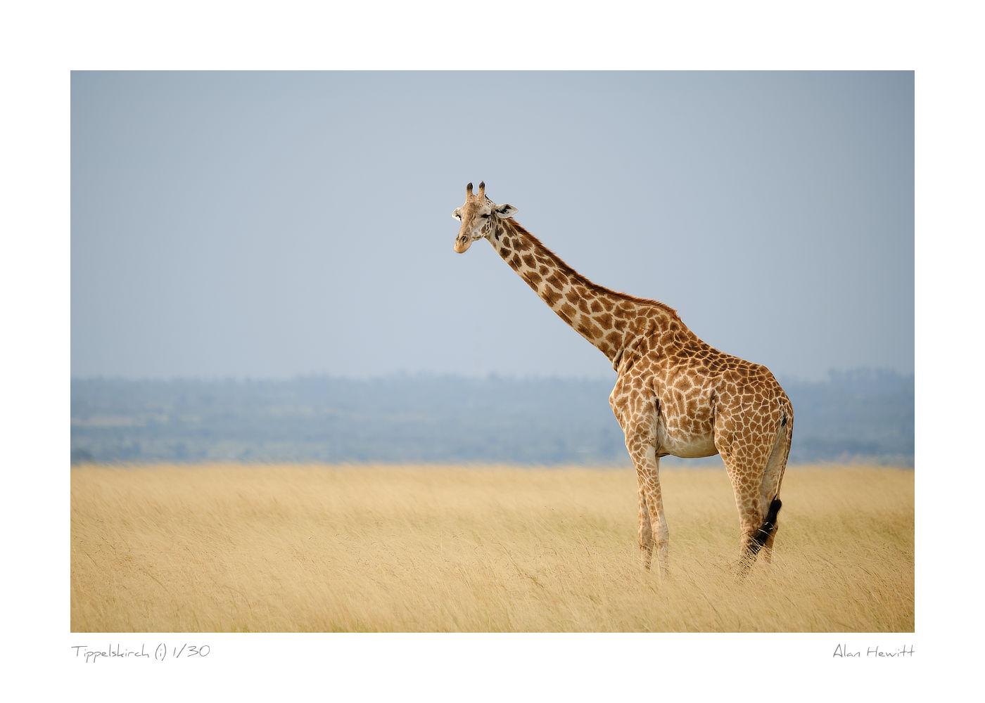 Wildlife Print Tippelskirch (i) Giraffe Alan Hewitt Photography