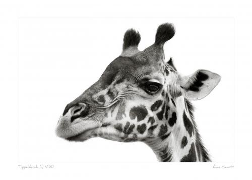Wildlife Print Tippelskirch (ii) Giraffe Alan Hewitt Photography