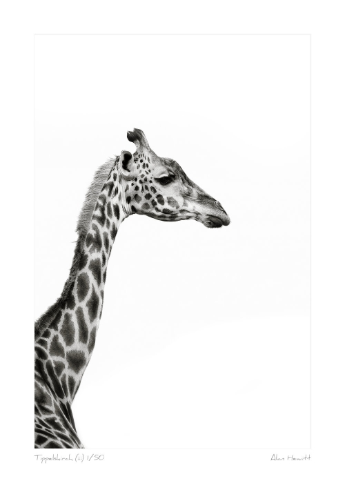Wildlife Print Tippelskirch (iii) Giraffe Alan Hewitt Photography