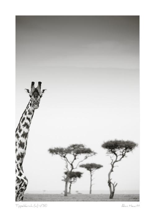 Wildlife Print Tippelskirch (iv) Giraffe Alan Hewitt Photography