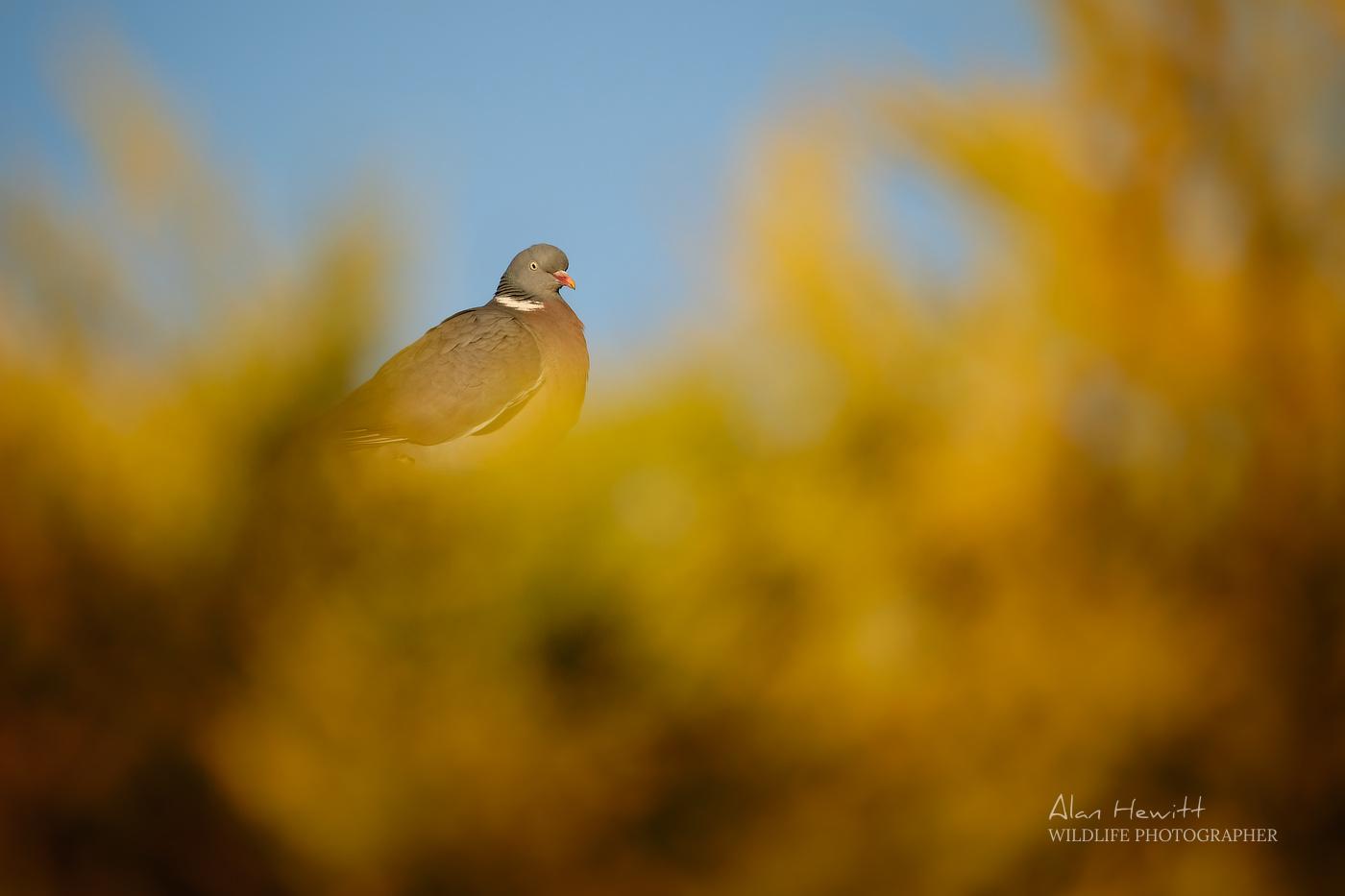Wood Pigeon Alan Hewitt Photography