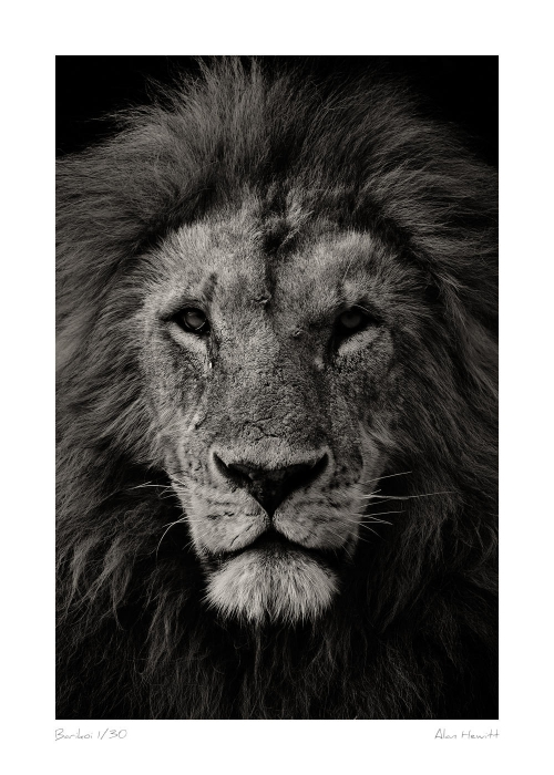Wildlife Print Lion Barikoi Alan Hewitt Photography