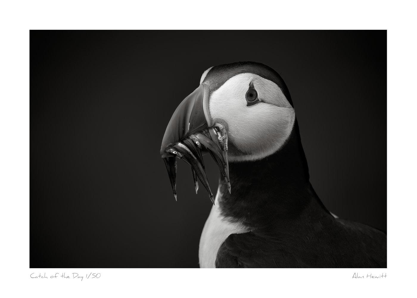 Wildlife Print Atlantic Puffin Alan Hewitt