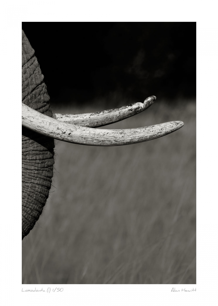 Wildlife Print Loxodonta (i) Elephant Alan Hewitt Photography