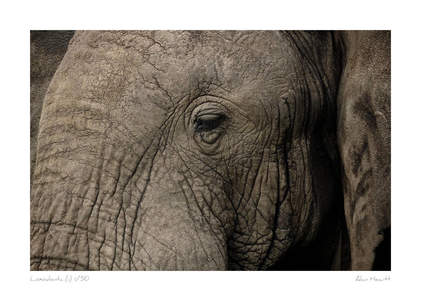 Wildlife Print Loxodonta (ii) Elephant Alan Hewitt Photography