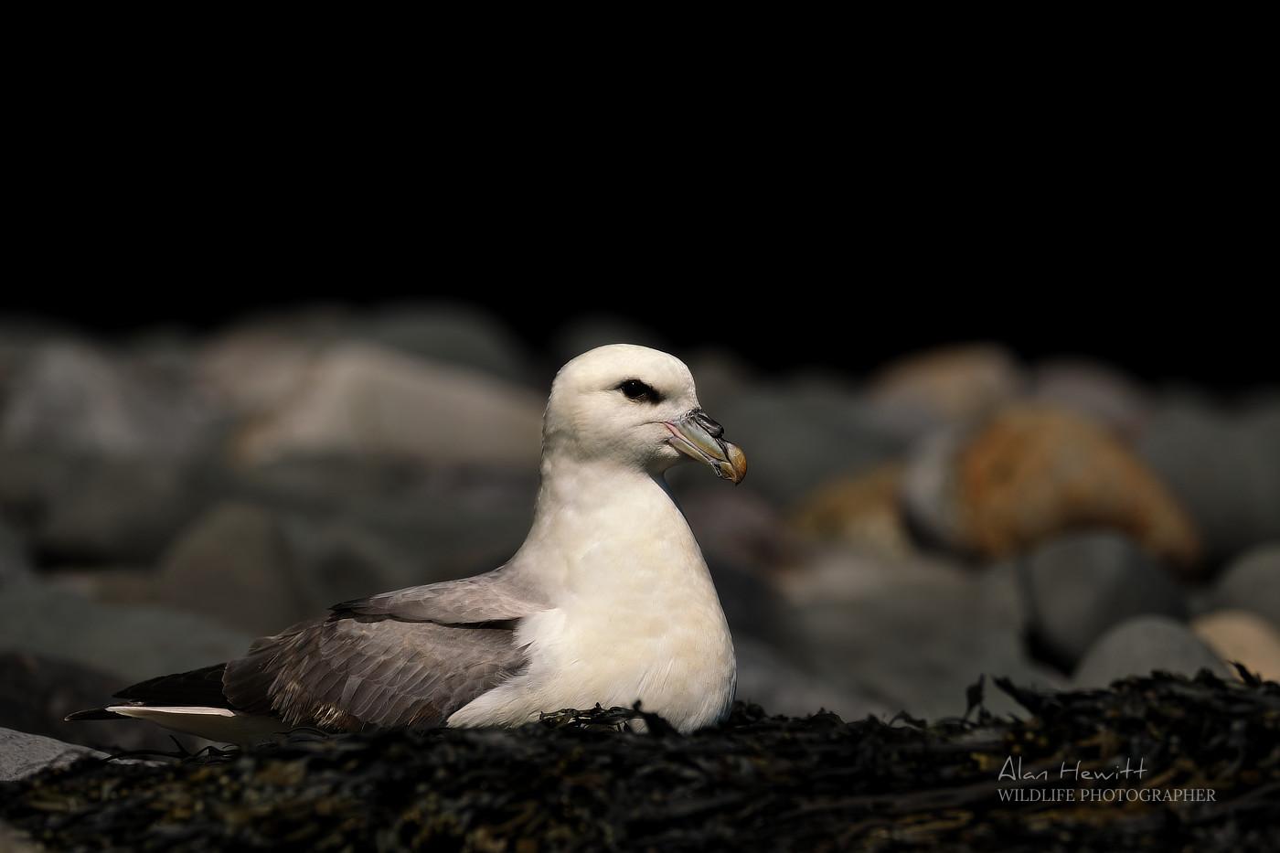 Fulmar Alan Hewitt Photography