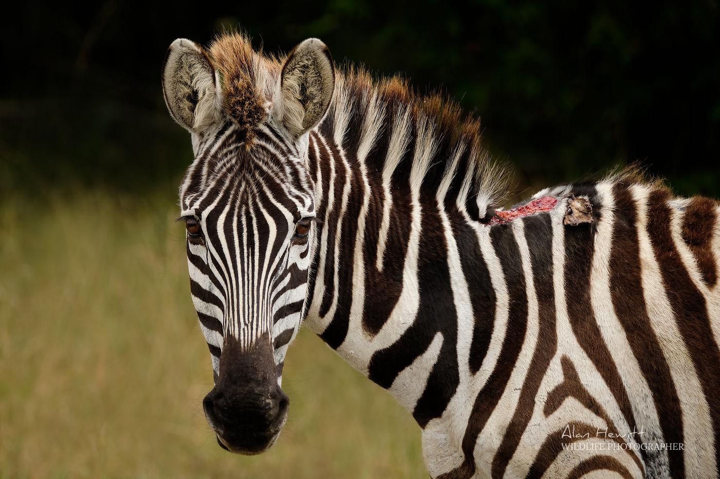 Injured Zebra Alan Hewitt Photography