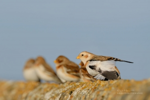Snow Bunting in Northumberland Alan Hewitt Photography