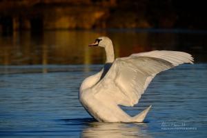 Mute Swan, Fujifilm Fujinon 70-300mm