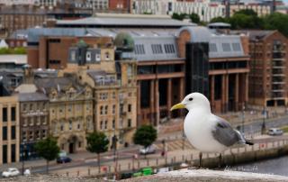Newcastle upon Tyne Kittiwake, © Alan Hewitt Photography