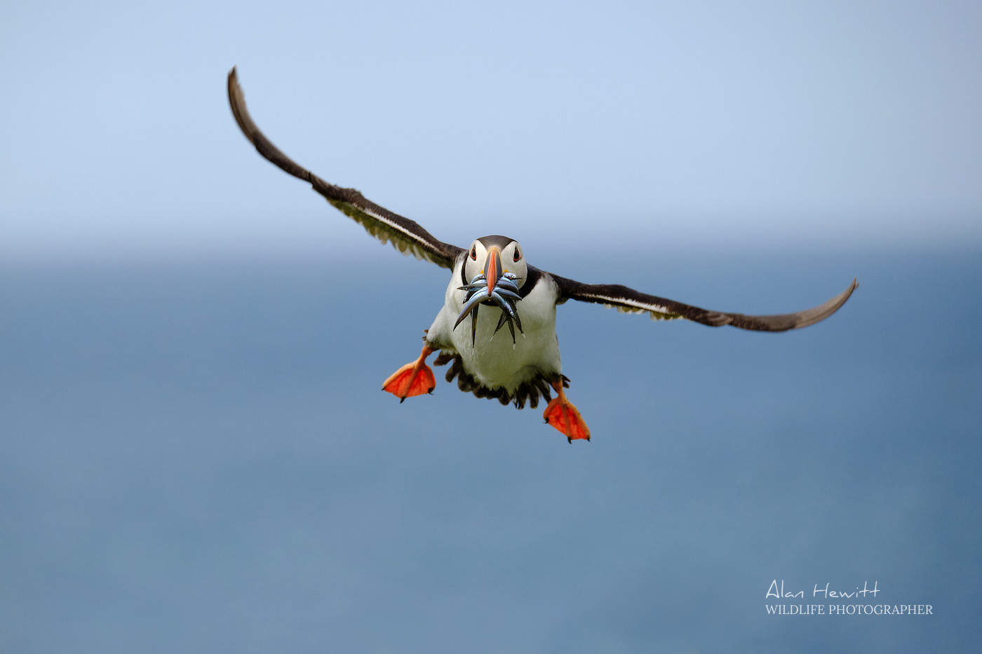 Atlantic Puffin © Alan Hewitt Photography